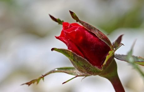 nature, wild rose, leaf, flower bud