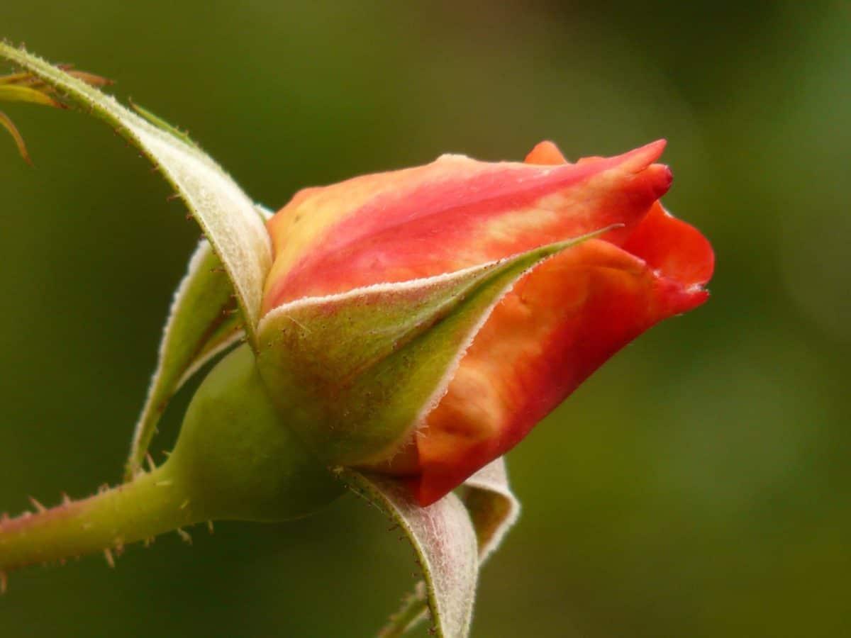 germoglio di fiore, rosa canina, foglia, natura, giardino, petalo, fiore, pianta
