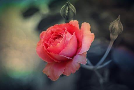 Natur, rose, Blume, Knospe, Blatt, Makro, Kraut, Blüte, Blüte