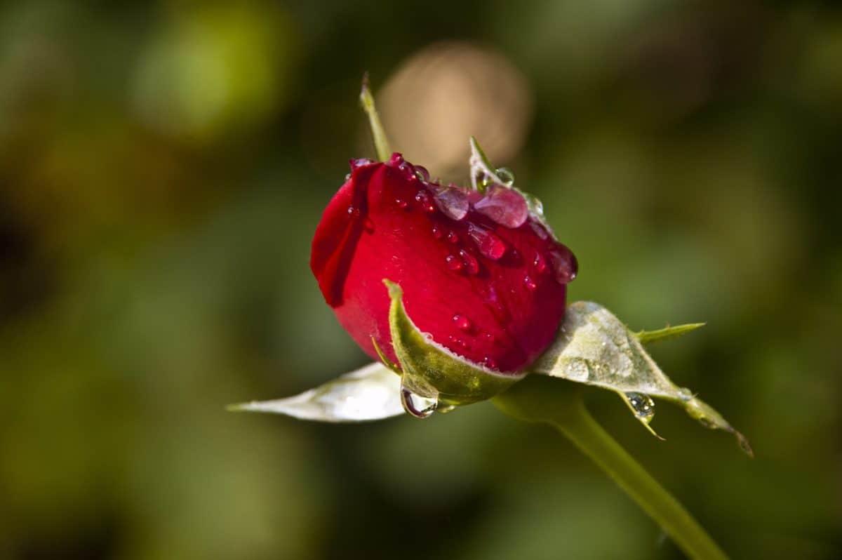 fiore, foglia, natura, rugiada, goccia di pioggia, luce diurna, rosa selvatica