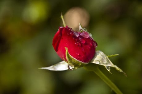 flower, leaf, nature, dew, raindrop, daylight, wild rose