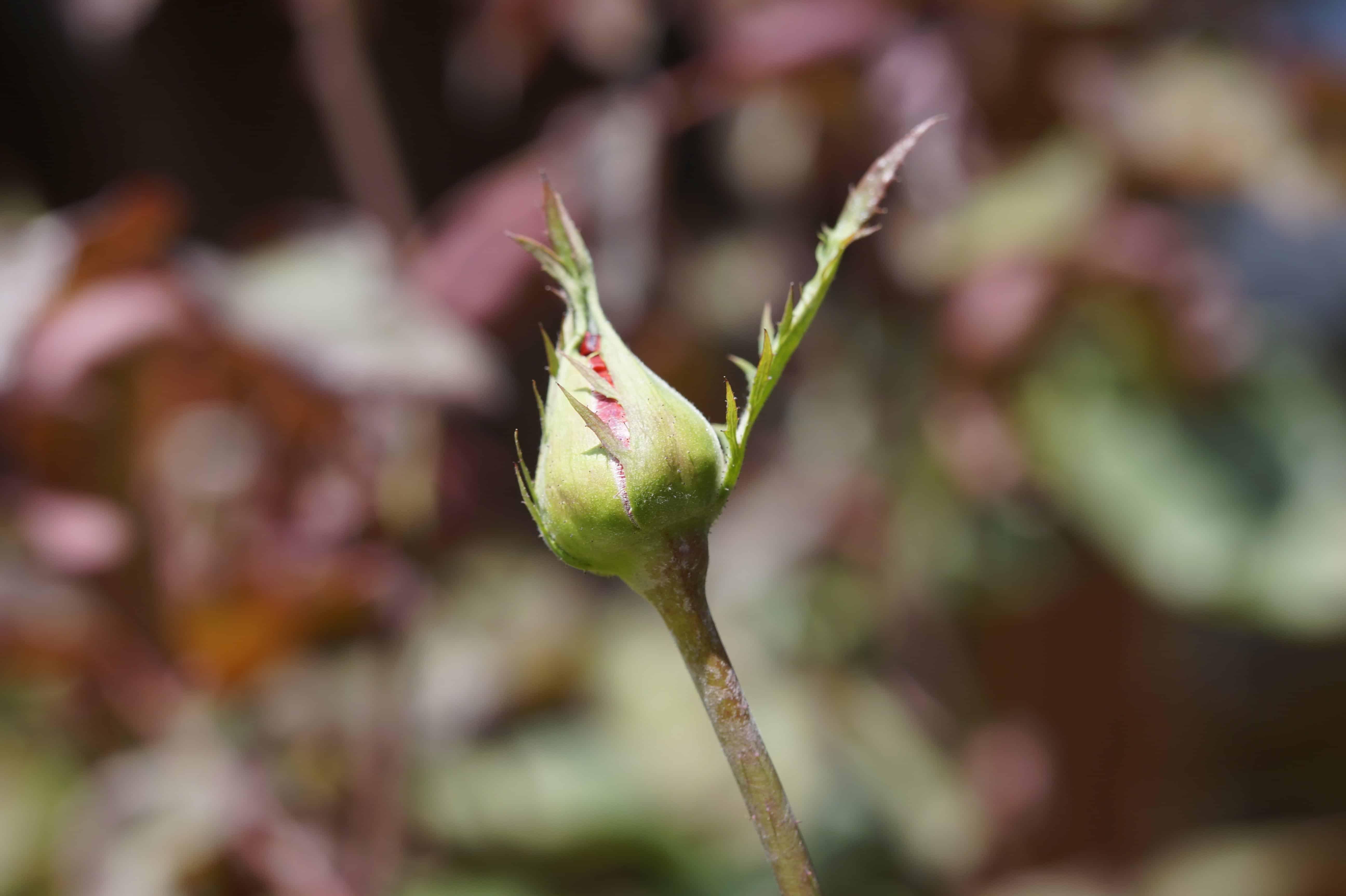 Ангиома цветы