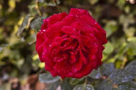 red flower, leaf, wild rose, nature, flora, dew, raindrop, garden, blossom