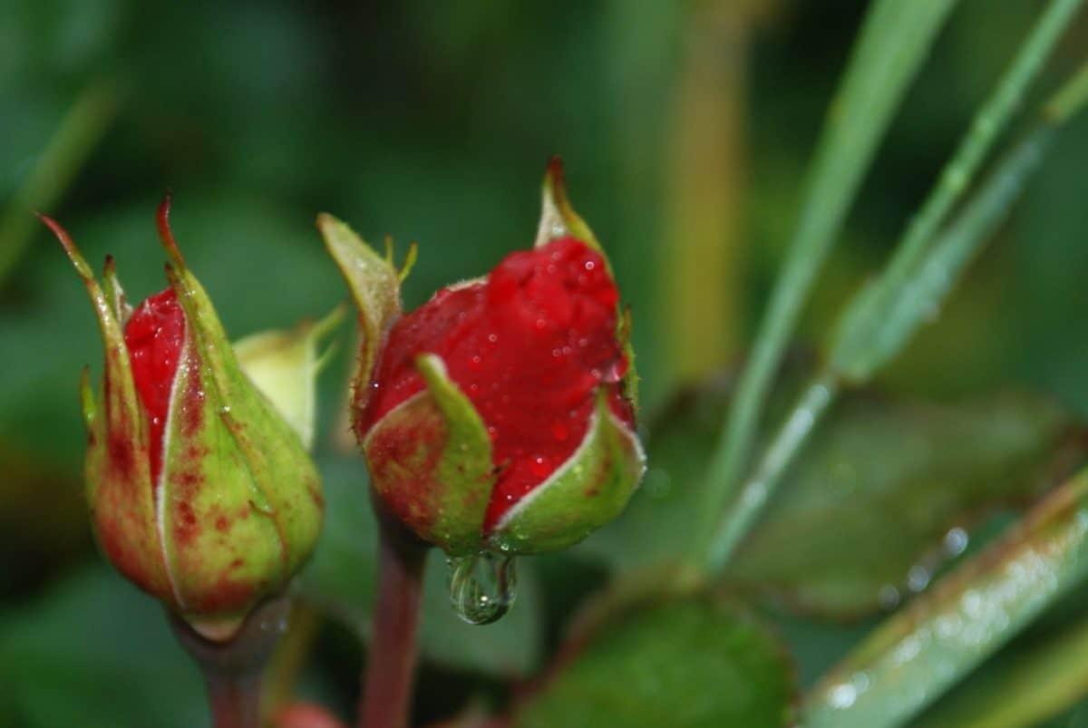 feuille, nature, bouton floral, rosée, goutte d'eau, macro