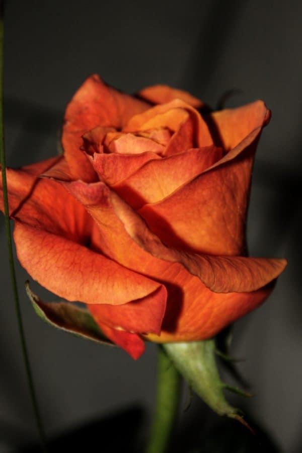 petalo, macro, erba, fiore rosso, biologia, nettare