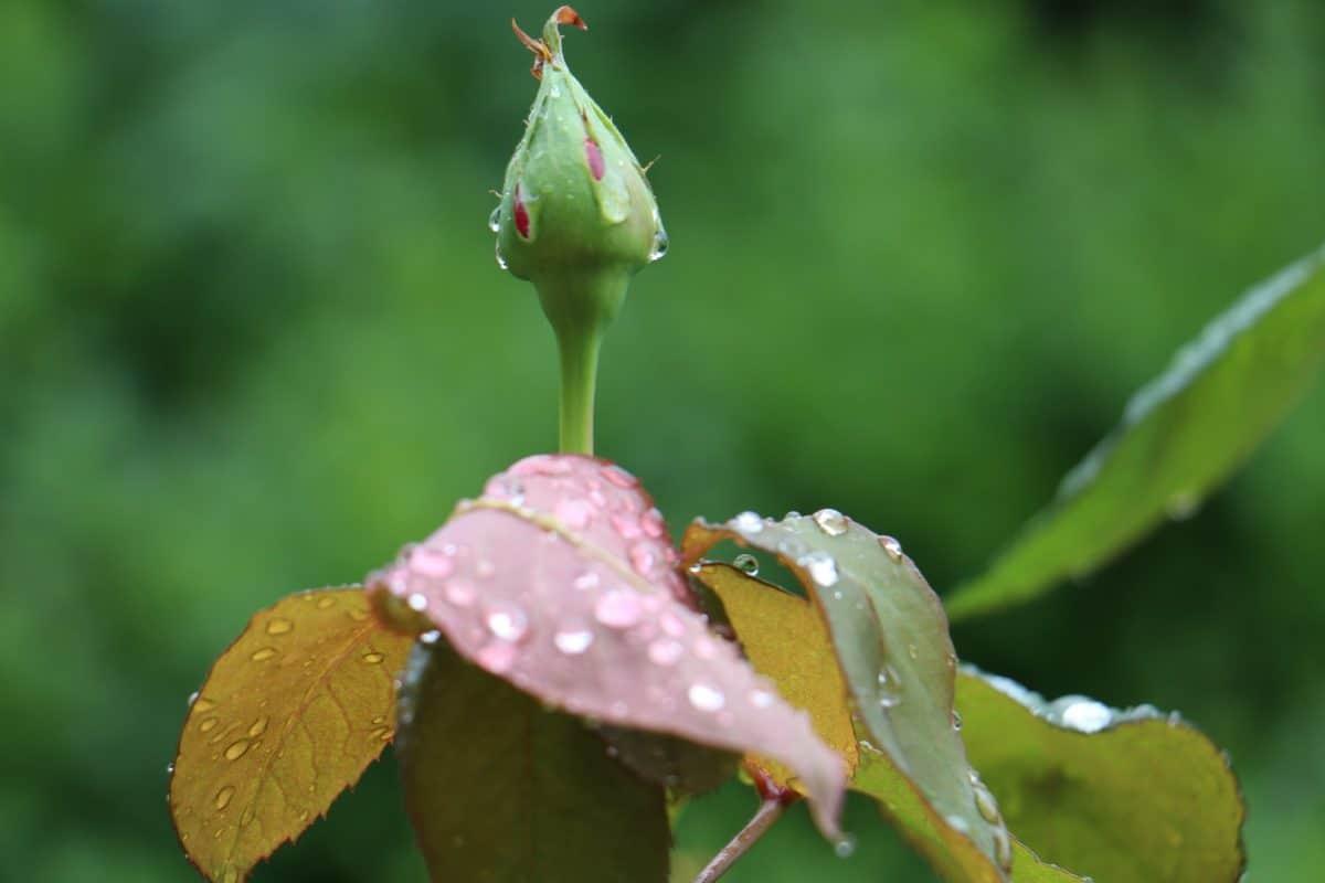 Natur, Regentropfen, wilde Blume, Blatt, Tau, Flora, Kraut, Makro, Blüte