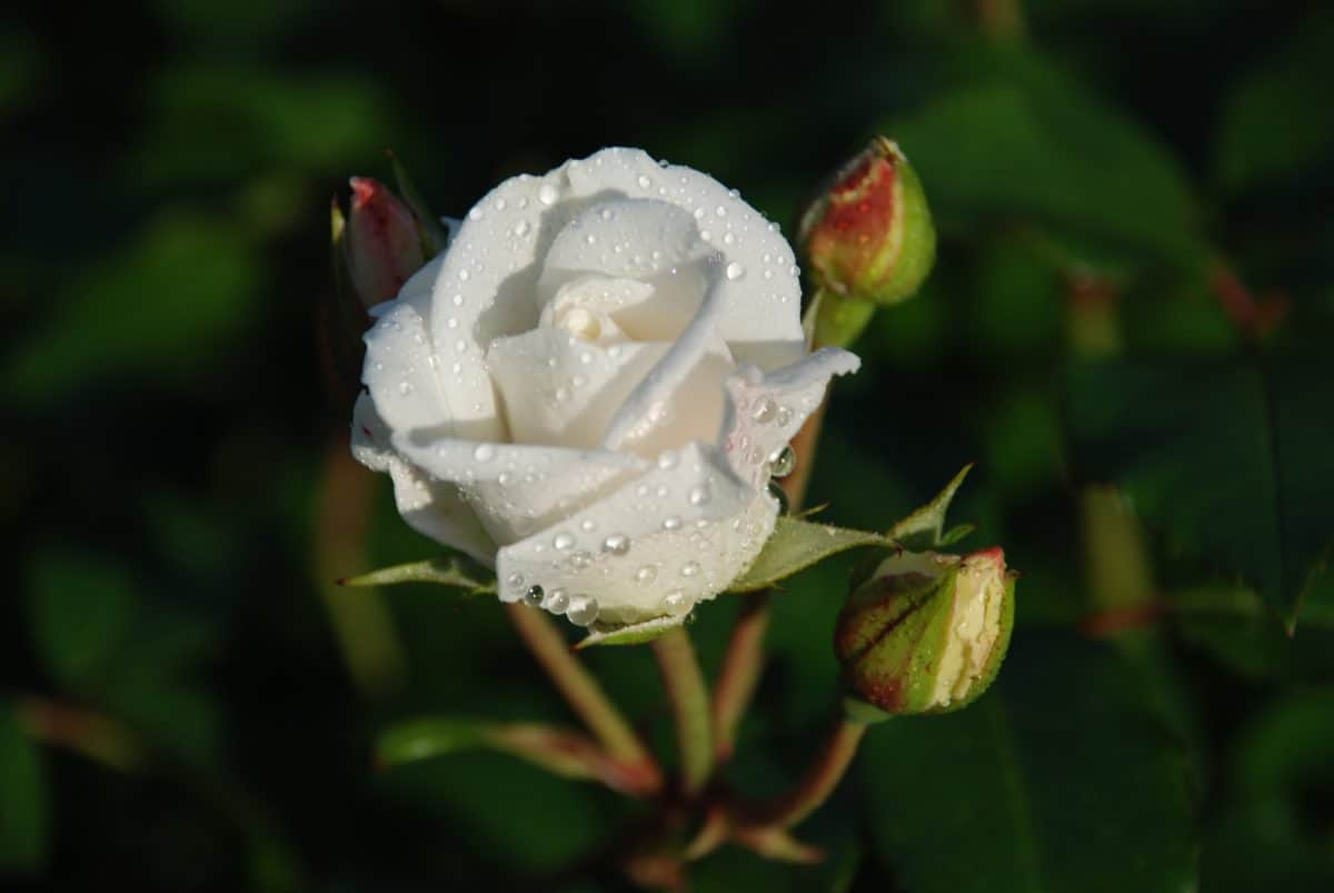 white flower, flora, nature, wild rose, leaf, dew, blossom