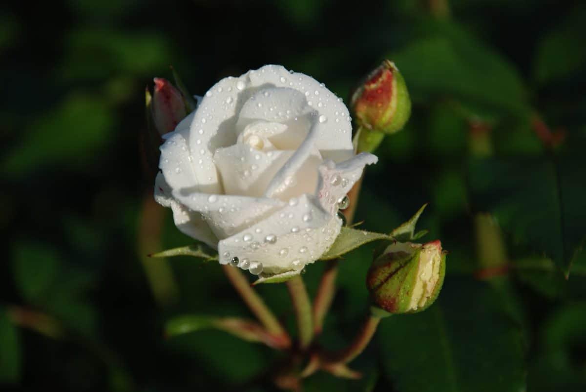 fiore bianco, flora, natura, rosa canina, foglia, rugiada, fiore
