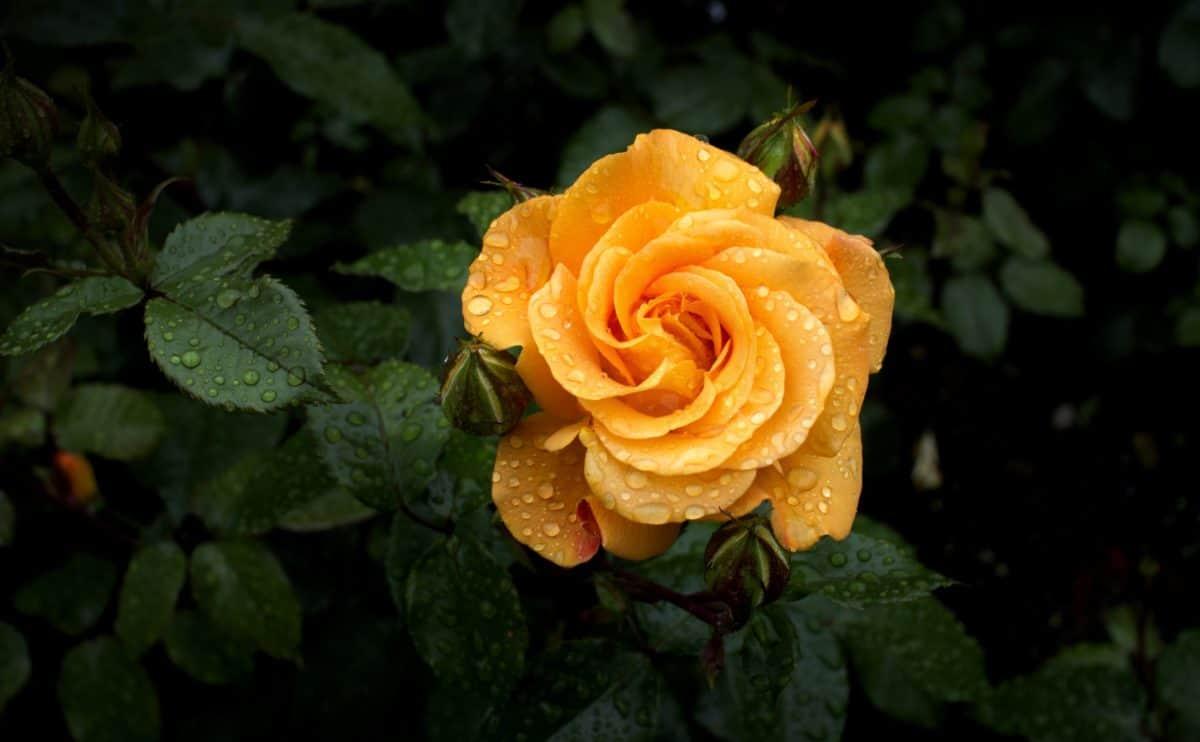 flower, shadow, wild rose, nature, petal, raindrop, garden, dew, ecology