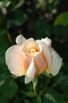 dew, macro, garden, moisture, raindrop, flora, nature, leaf, white flower, rose, plant