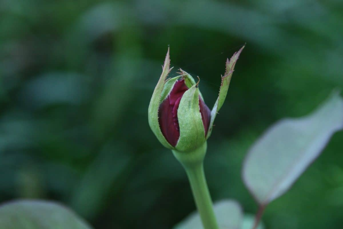nature, flower bud, leaf, herb, outdoor, garden, horticulture, summer