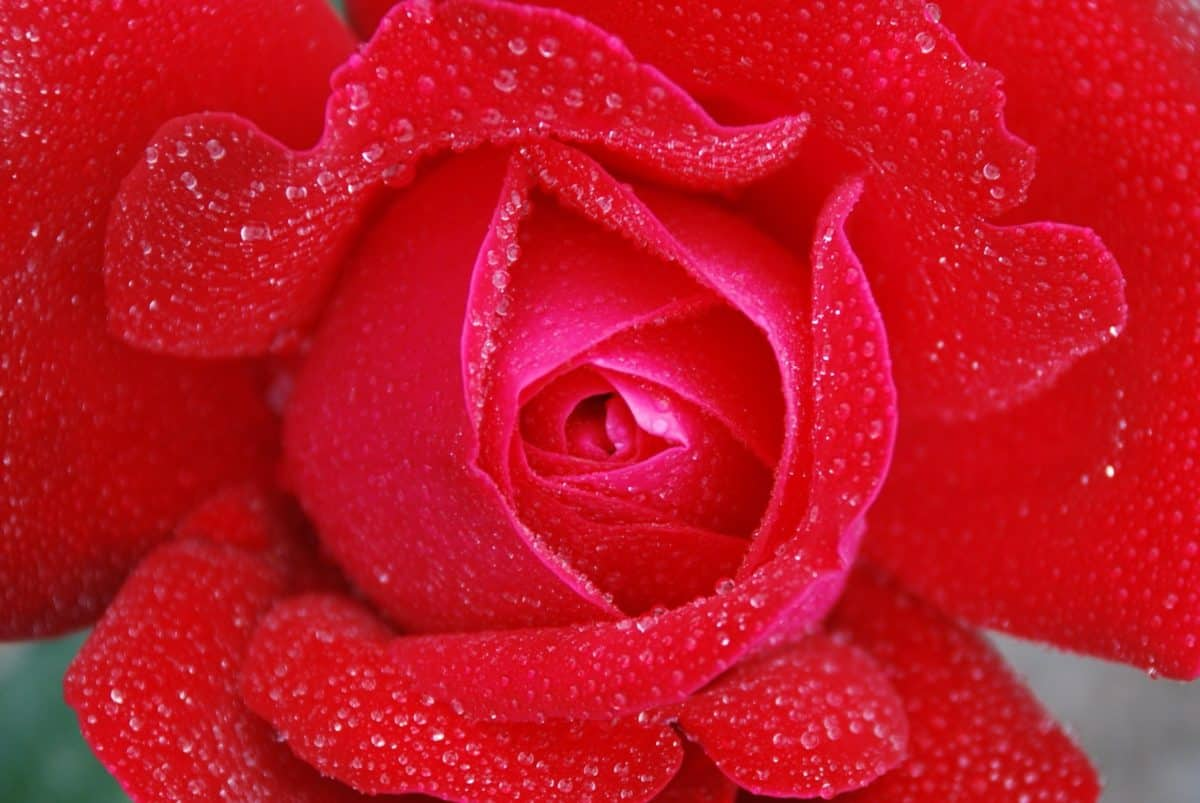 dew, rose, nature, dew, flower, petal, plant, blossom