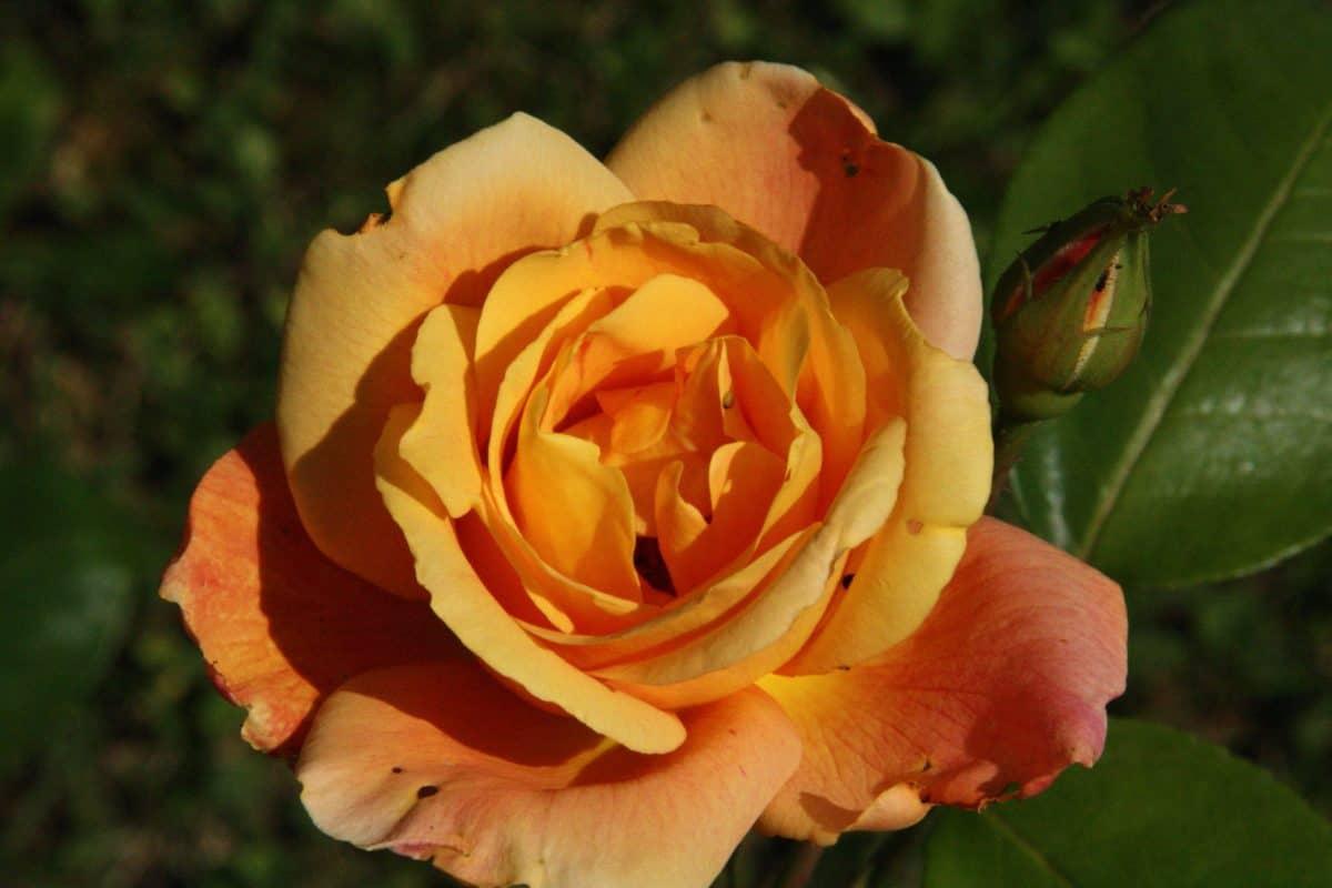 flower, leaf, flora, petal, bush, rose, nature, horticulture, garden