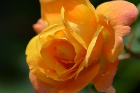 dew, flower, nature, begonia, rose, petal, plant, garden