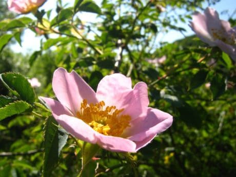 flower, bush, summer, horticulture, nature, garden, petal, wild rose