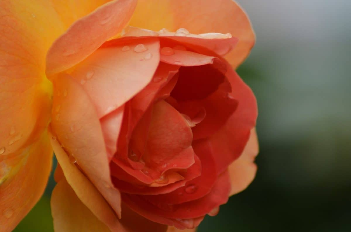 horticulture, dew, nature, summer, rose, flower, petal, plant, macro