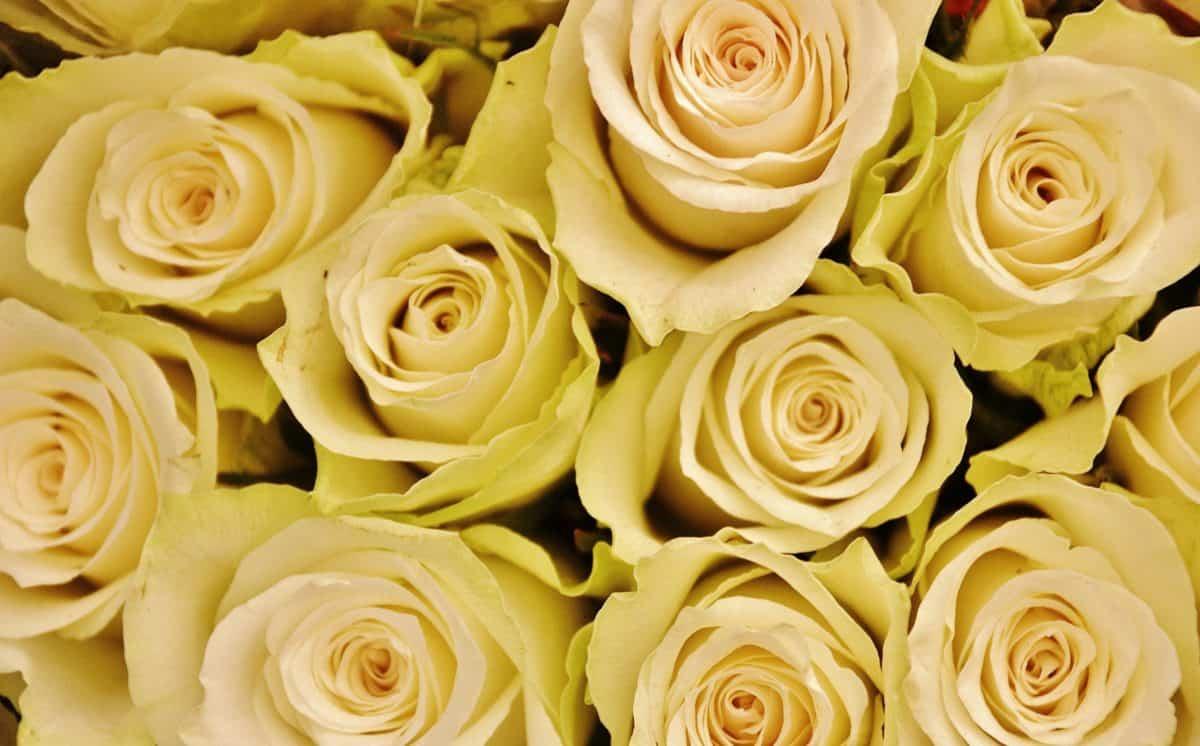 bouquet, white flower, rose, petal, arrangement, plant