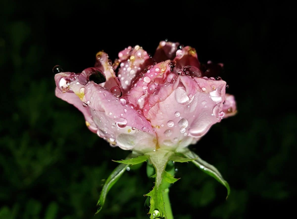 dew, raindrop, macro, flower, green leaf, nature, rose, plant, darkness
