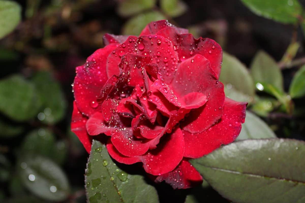 charakter ruže, Záhrada, leaf, flora, kvet, záhradníctvo, letný, rosy