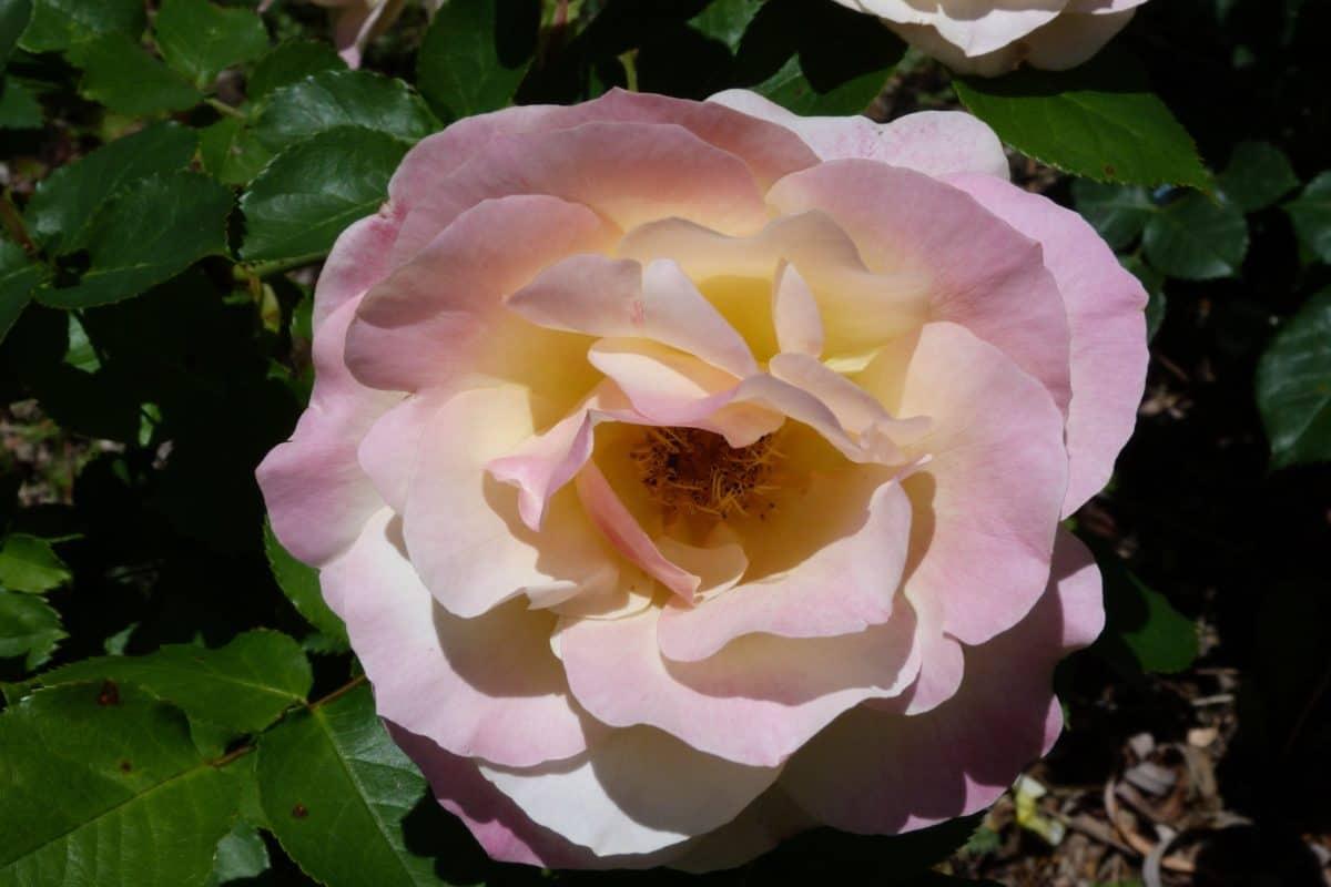 rosa, natura, fiore, giardino, foglia, flora, orticoltura, pianta