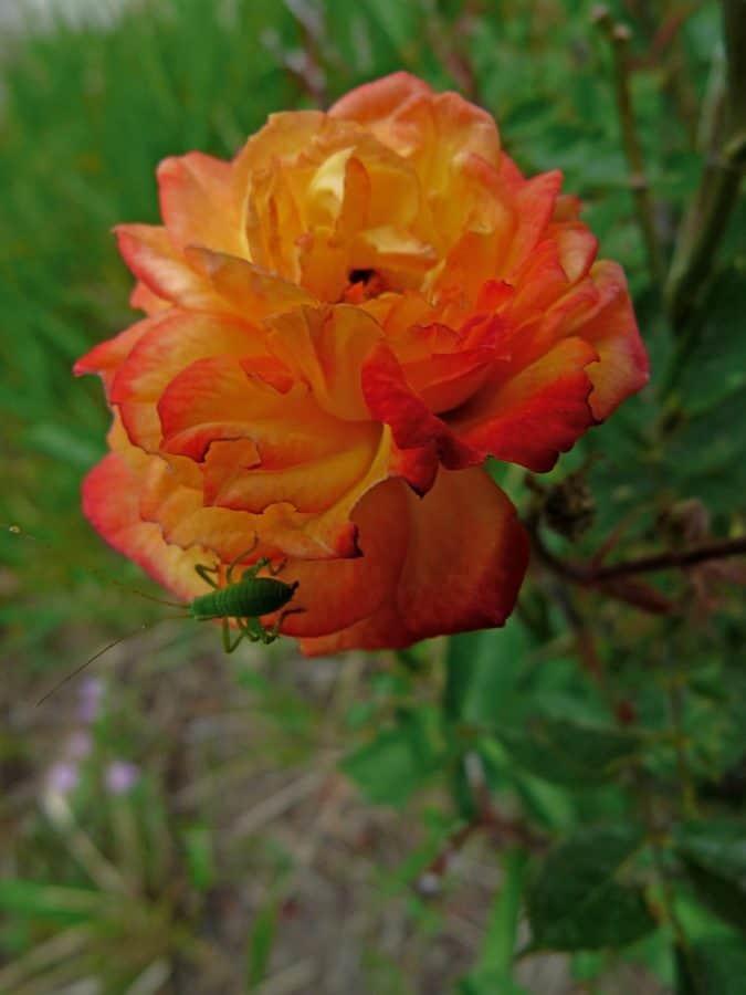 flora, leaf, flower, garden, nature, summer, plant, wild rose