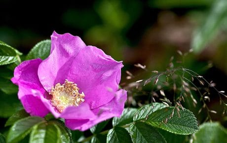 flor, naturaleza, hoja, rosal silvestre, planta, flora, jardín, verano