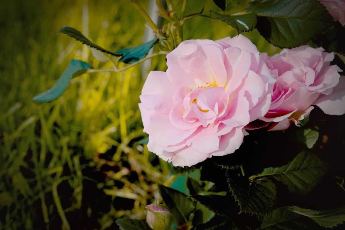 orticoltura, natura, rosa, flora, foglia, bellissimo, giardino, fiore, pianta