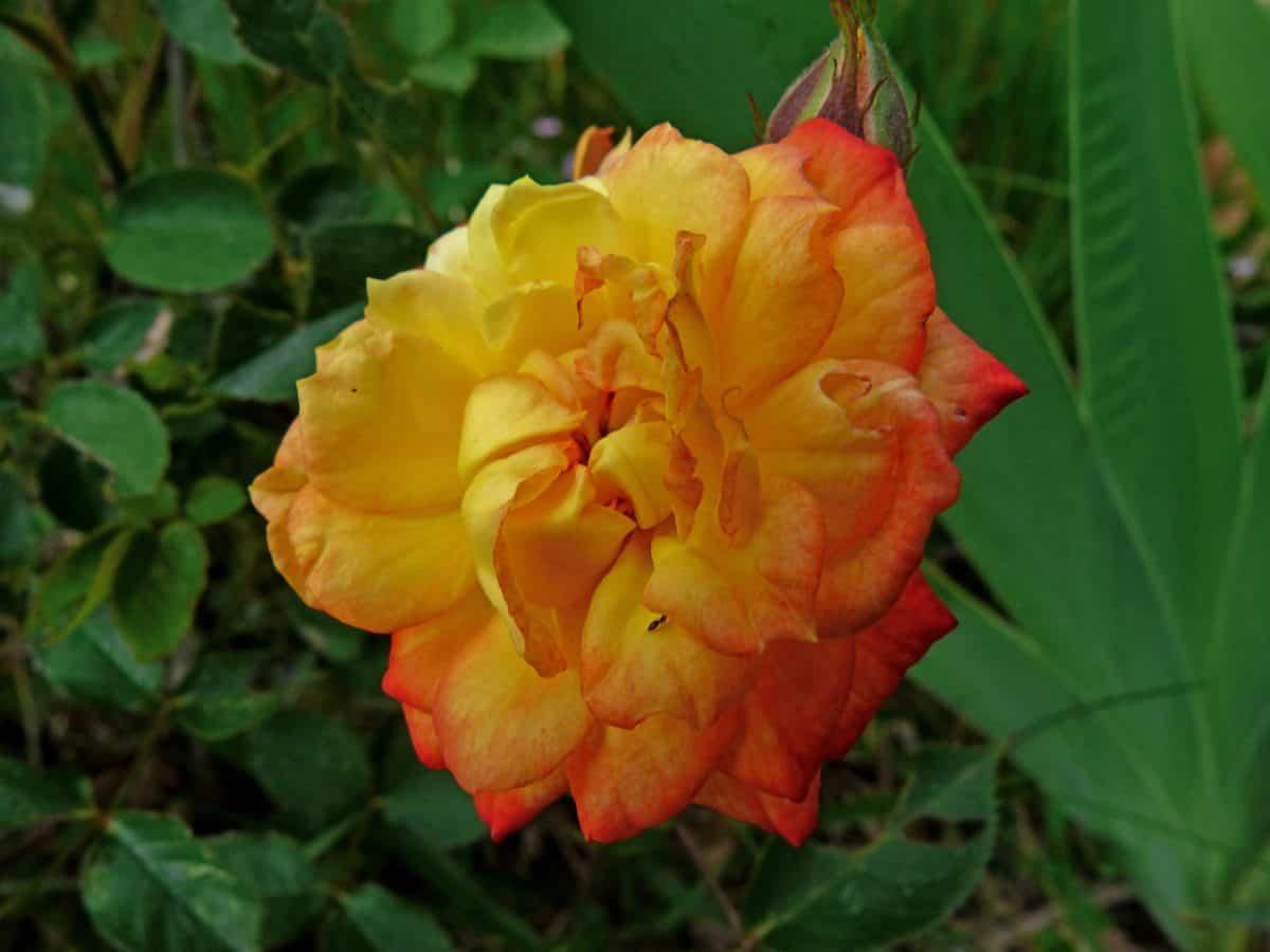 fiore, orticoltura, estate, natura, giardino, flora, foglia, pianta, rosa
