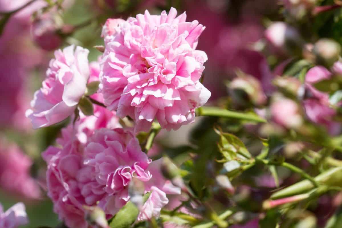 květ, okvětní lístek, příroda, zahradnictví, list, flora, léto, zahrada, růžová