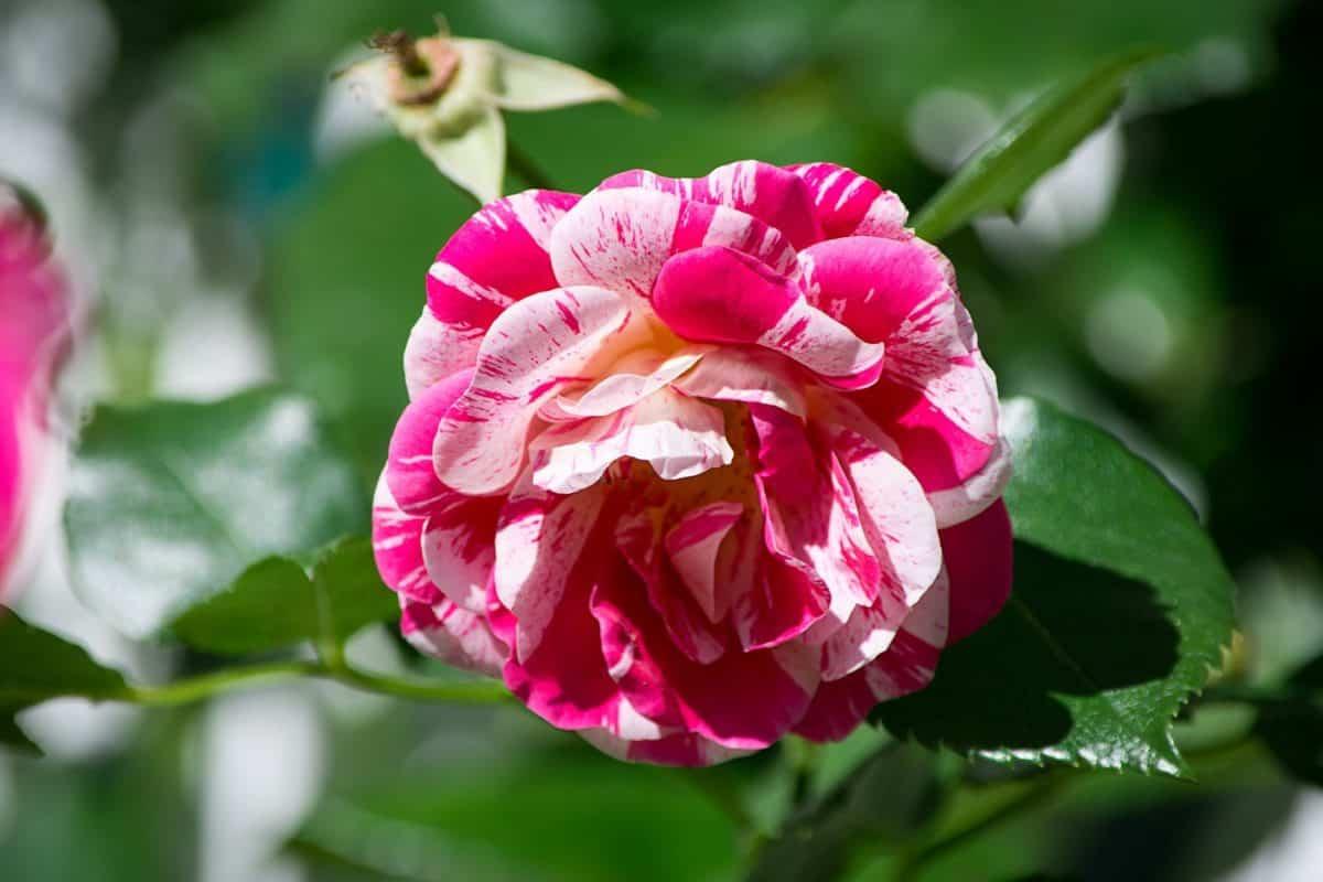 Pétalo, rosa, jardín verano, hoja, flora, naturaleza, colorida, rojo flor