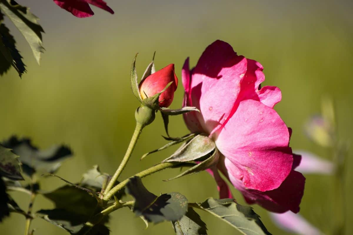 daylight, summer, flora, nature, garden, flower bud, leaf, wild rose, petal