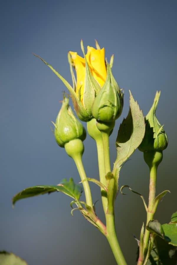 green leaf, flora, nature, horticulture, flower bud, plant, blue sky