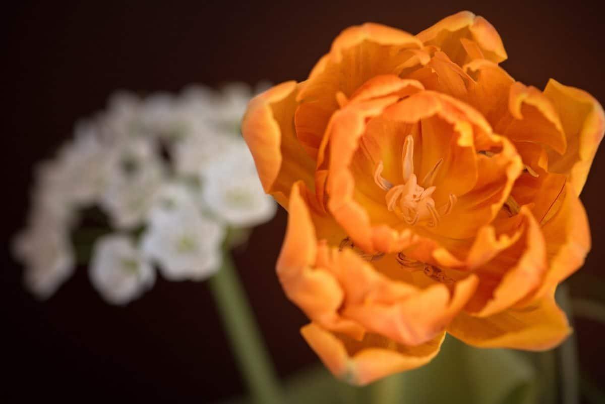 Flora, natura, wildflower, petalo, rosa, giardino, pianta
