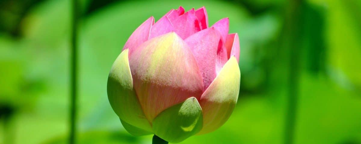 flore, jardin, nature, fleur, lotus, été, feuille