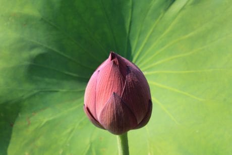 summer, nature, lily, green leaf, aquatic, flora, exotic, lotus