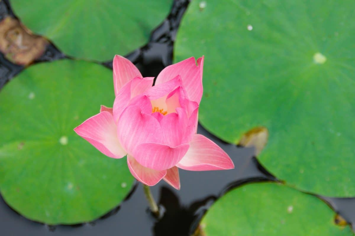 levél, flora, lotus, természet, virág, tavirózsa, vízi, egzotikus