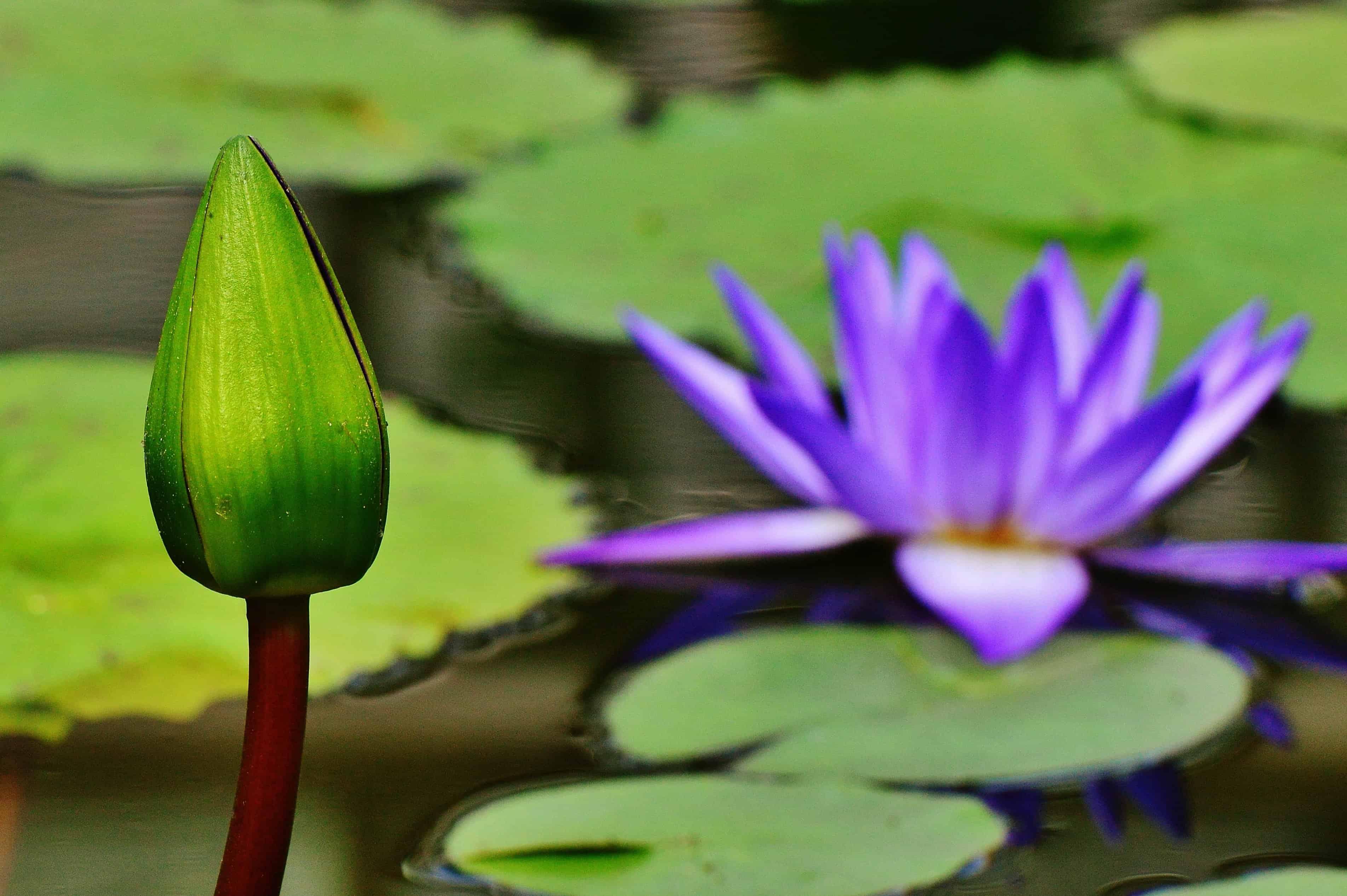 Free Picture Nature Lotus Aquatic Meditation Flower