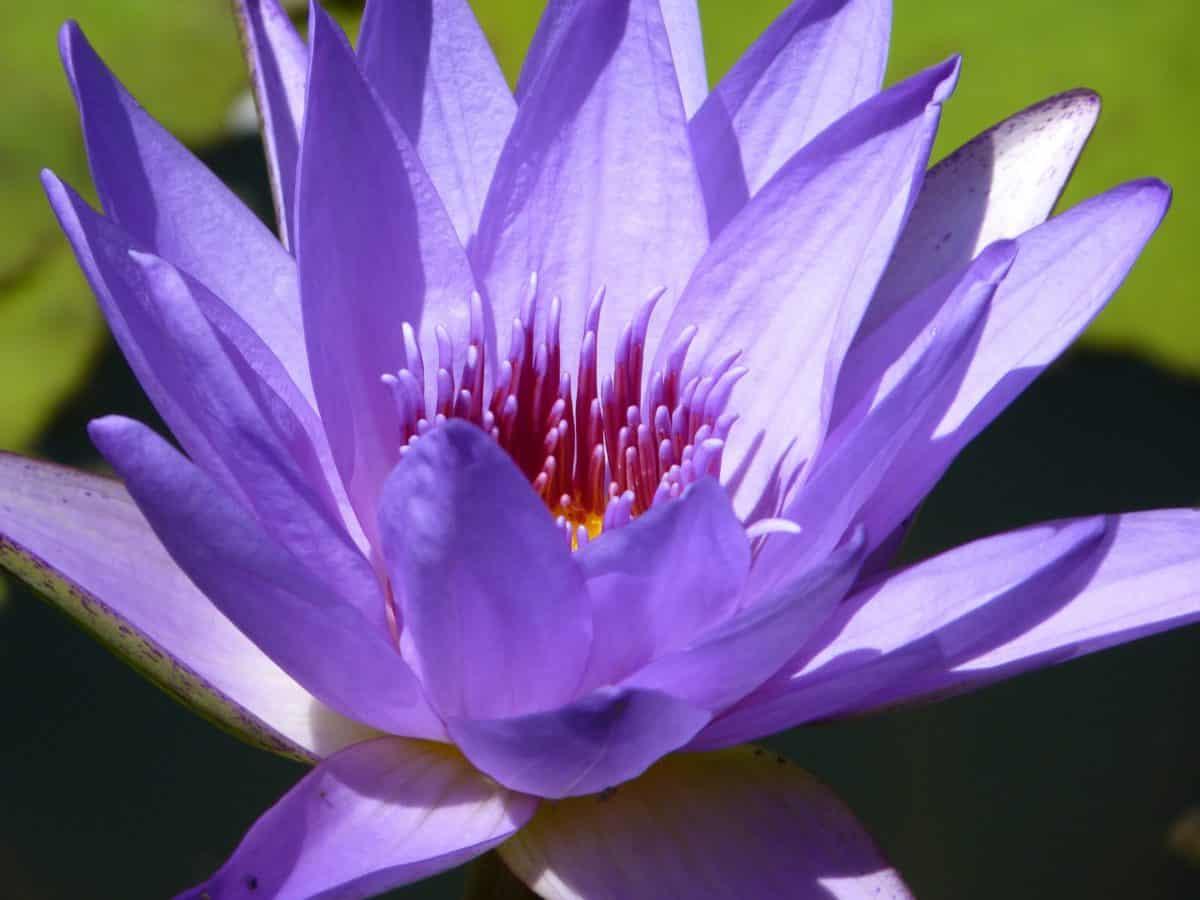 çiçek, nilüfer, flora, lotus, yaprak, pistil, su, doğa