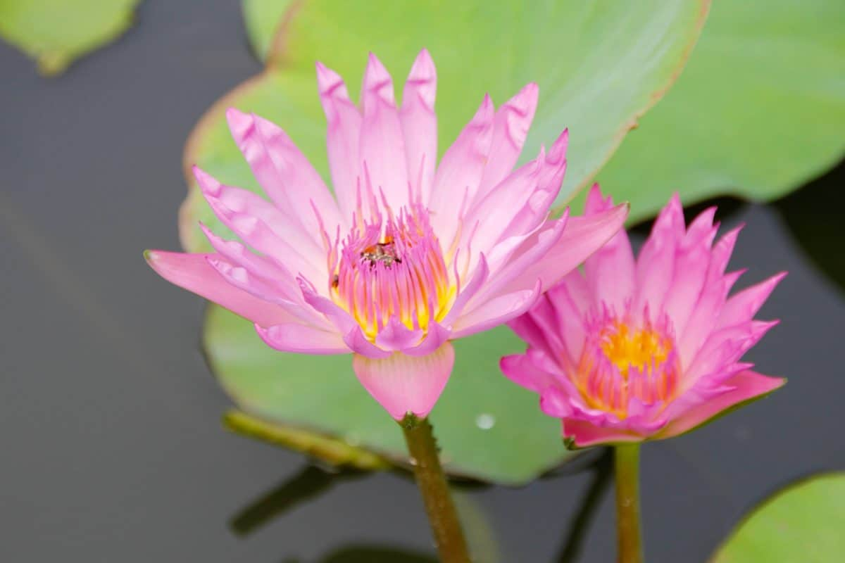 flora, exotic, lotus, leaf, flower, summer, nature, waterlily