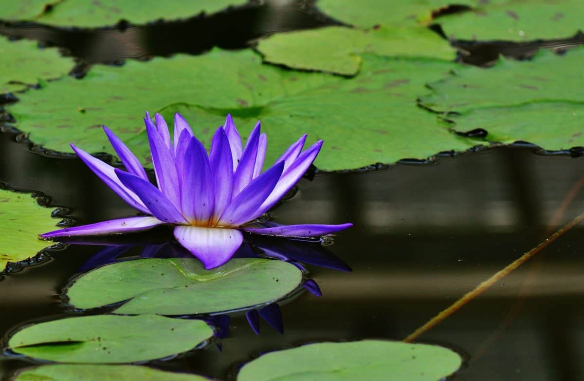lotus, leaf, flower, nature, aquatic, flora, waterlily