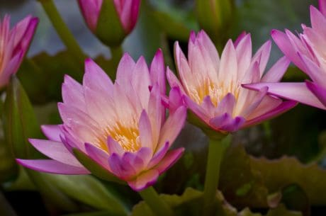 garden, nature, petal, lotus, flower, flora, summer, waterlily, leaf