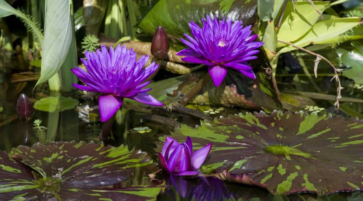 petal, garden, flora, waterlily, flower, nature, leaf, aquatic plant