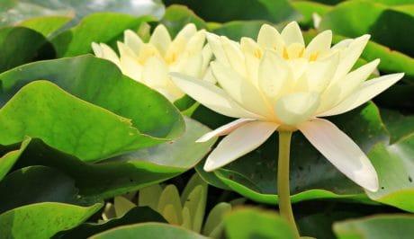 fleur, nature, lily, jardin, lotus, été, feuille, flore