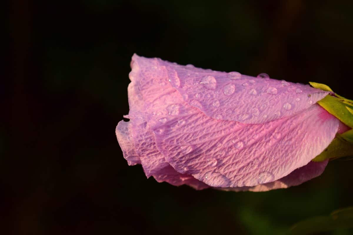 dew, raindrop, nature, flower, petal, plant, blossom, pink