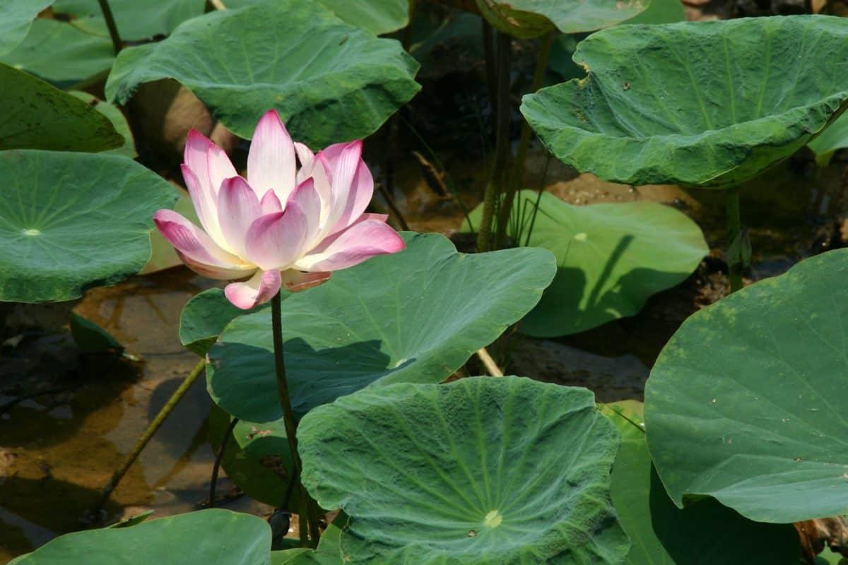 Wasser, Sommer, Blatt, Seerose, Natur, Lotus, exotisch, flora