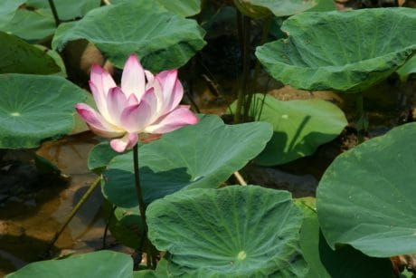 aquatic, summer, leaf, waterlily, nature, lotus, exotic, flora