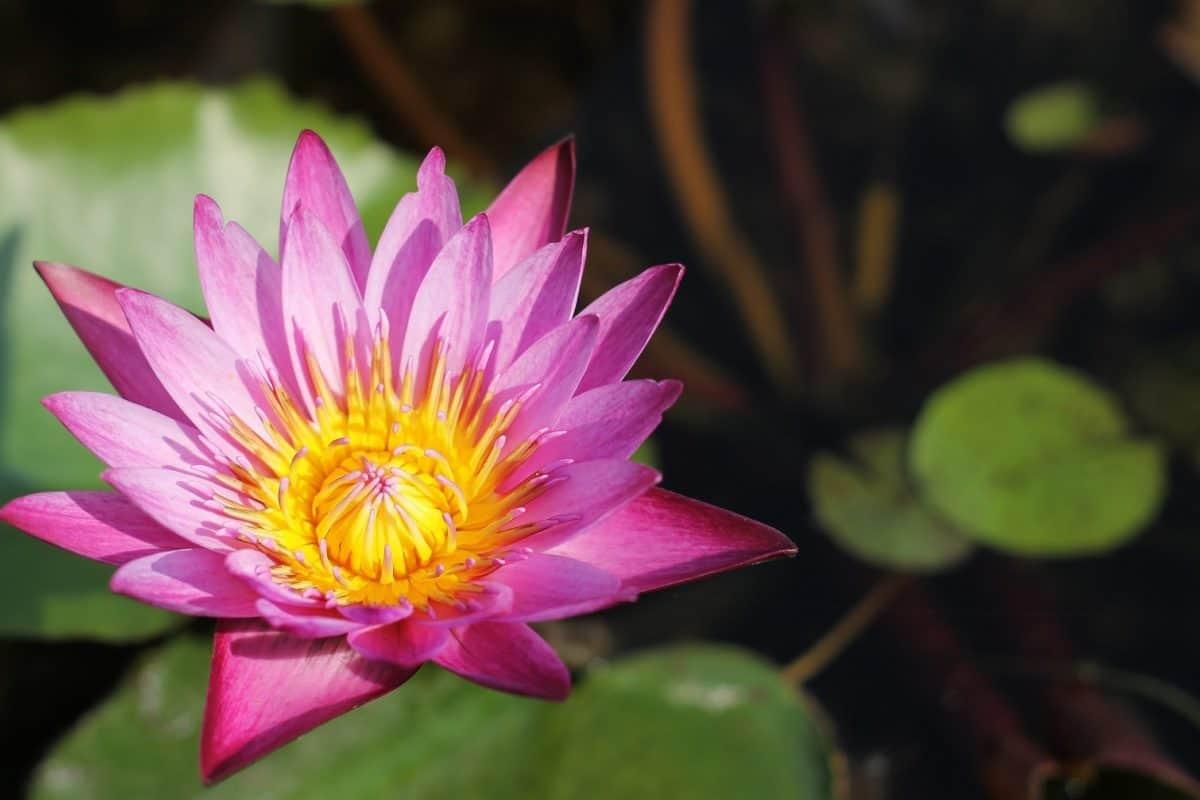 Waterlily, acquatico, foglia, loto, fiore, giardino, flora