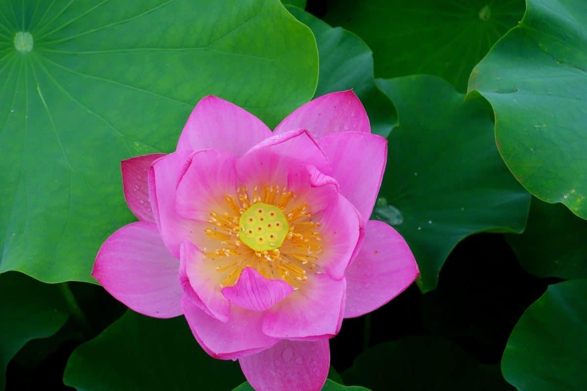 květina, léto, flora, lotus, listy, příroda, makro, letní, rostlina