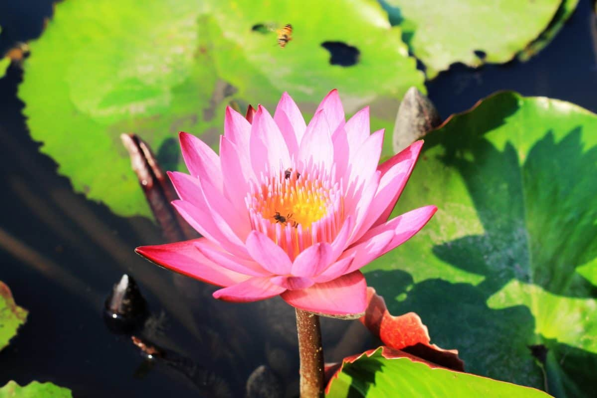 flower, aquatic, waterlily, sunshine, lotus, flora, green leaf, nature