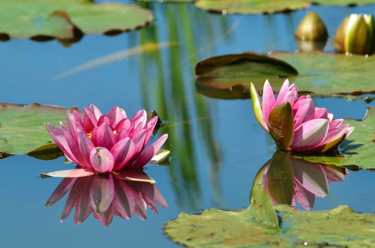 flore, jardin, nature, belle, feuilles, lotus, fleurs sauvages
